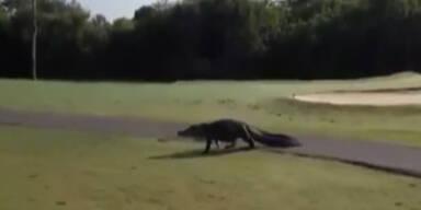 Alligator spaziert über Golfplatz
