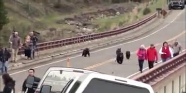 Schwarzbär mit Jungen jagt Touristen