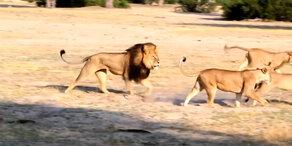 Jagd auf Zahnarzt-Löwenmörder