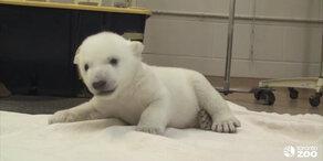 Erste Schritte eines Baby-Eisbären