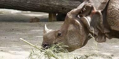 Wilderer sägt Plastik-Rhinozeros das Nashorn ab