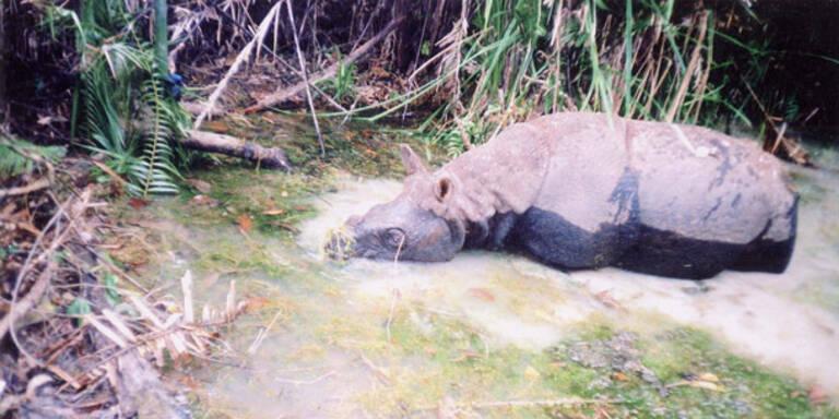 Java-Nashorn in Vietnam ausgerottet