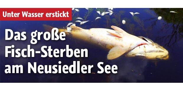 Hunderte tote Fische im Neusiedlersee