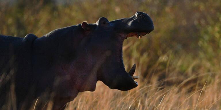 Nilpferd tötet Touristin beim Fotografieren