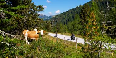 Kühe auf Weide entlang der Nockalmstraße