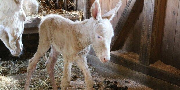 Seltener, weißer Barockesel in Steiermark geboren