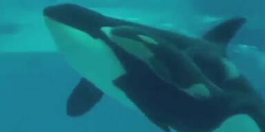 Orca-Walbaby in Sea World geboren