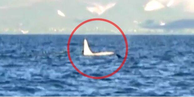 Erstmals komplett weißer Orca gesichtet