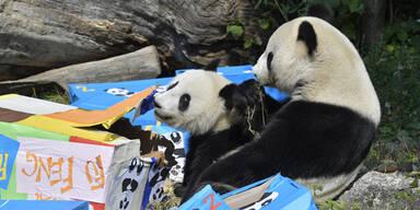 So süß feiern Schönbrunn-Pandas ihren Geburtstag