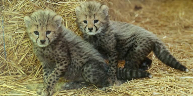 Geparden-Babies wagen sich aus ihrer Höhle
