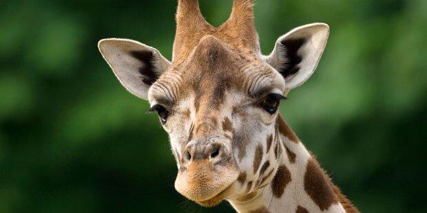 Zwei Giraffen durch Blitzschlag getötet