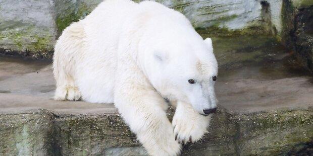 Schönbrunn hat keine Eisbären mehr