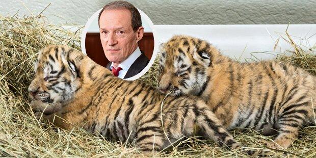 Promi-Anwalt kämpft um Tiger-Babys