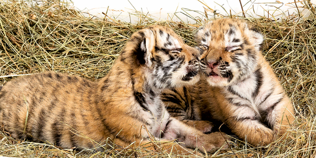 Tiger-Babys