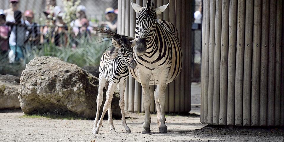 Zebra Schönbrunn