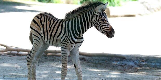 Gestreifter Nachwuchs im Tiergarten Schönbrunn