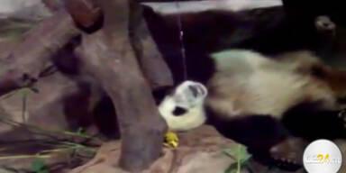 Panda pinkelt auf seinen Kollegen