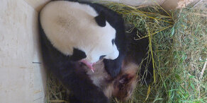 Wieder Panda-Nachwuchs