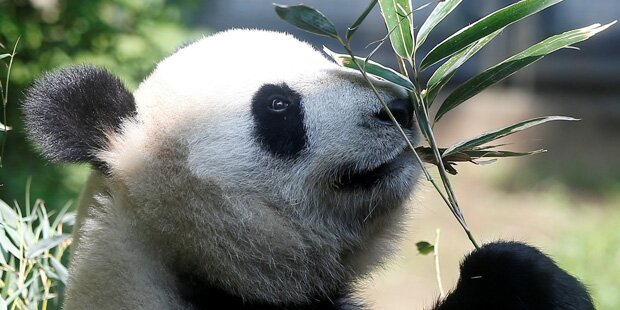 Süßes Pandabärenpaar landet am 24. Juni in Berlin