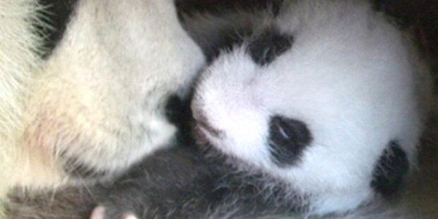 Schönbrunner Panda-Baby heißt Fu Hu