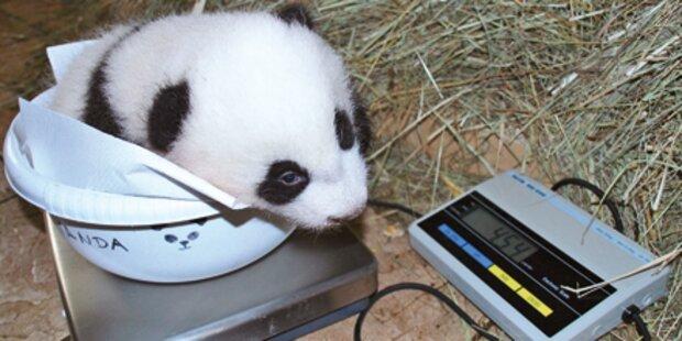 Panda-Baby: Seine erster Ausflug