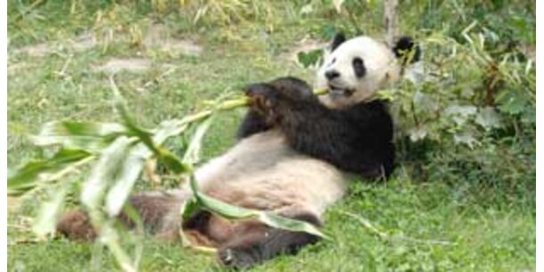 ORF strahlt erste Panda-Doku aus