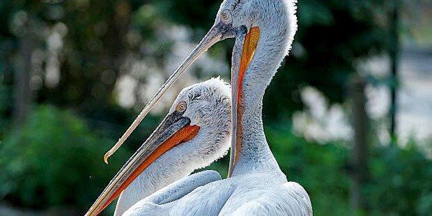 Bekommt Zoo neue Pelikan-Kolonie?