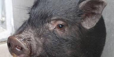 """Süßes Mini-Schwein """"Penelope"""" in Kiste in Wien ausgesetzt"""