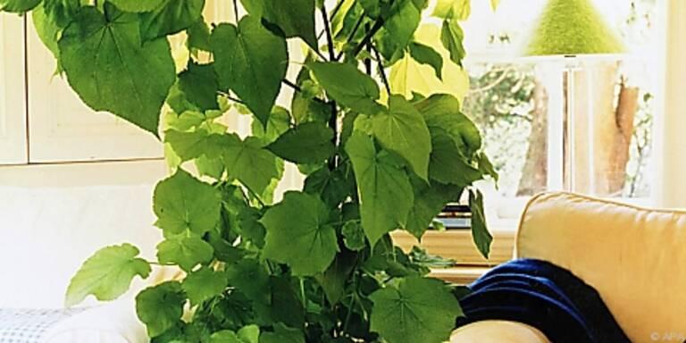 Pflanzen wie Zimmerlinde braucht Rückschnitt