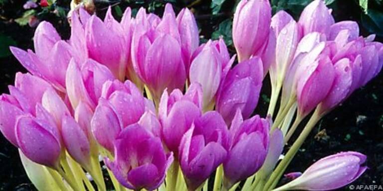 Pflegeleichte Pflanze in leuchtenden Farben