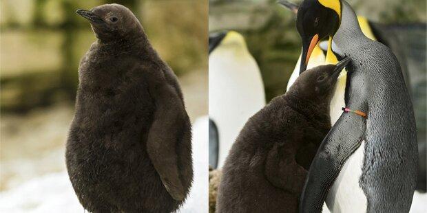 Flauschiges Pinguinküken entzückt Zoo-Besucher