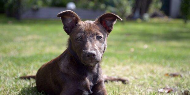 Hund beißt Buben (5) Teil des Ohrs ab