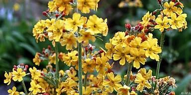 Primeln sollten erst nach der Blüte geteilt werden