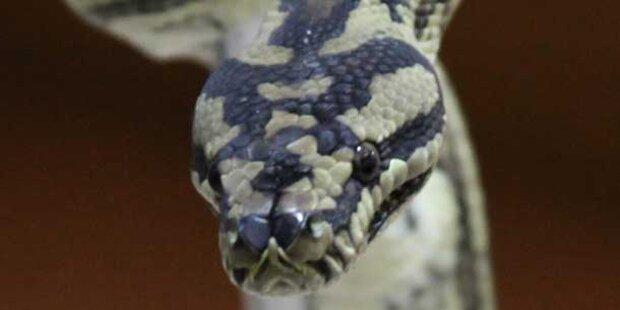 10 Kilo Python in Hauptstadt entwischt