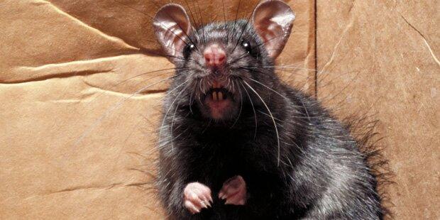 Riesen-Ratten fressen drei Monate altes Baby