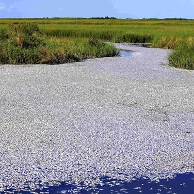 Hundertausende tote Fische nach Ölpest