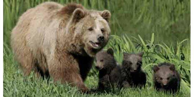 9 Bären zotteln durch Kärnten