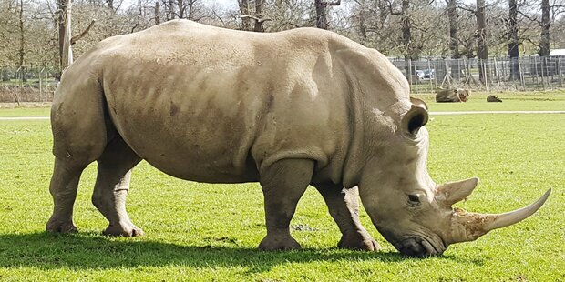 Zoo kürzt Rhinos mit Kettensäge die Hörner