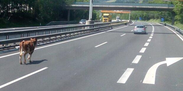 Jungrind auf Spritz-Tour auf der Autobahn