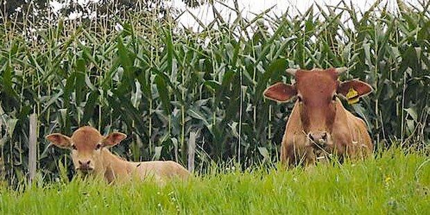 Ausgebüxt: Rinder narrten die Polizei