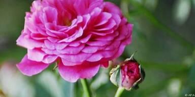 Rosen müssen schnell in die Erde