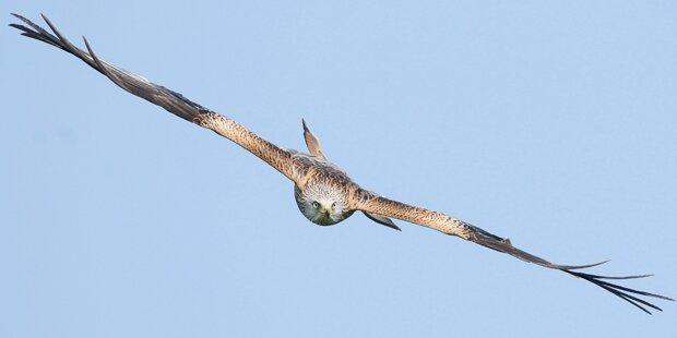 Tierquäler schoss geschützten Greifvogel an