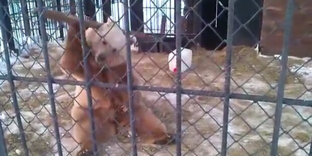 Zoo-Bär kämpft wie Kung Fu Panda