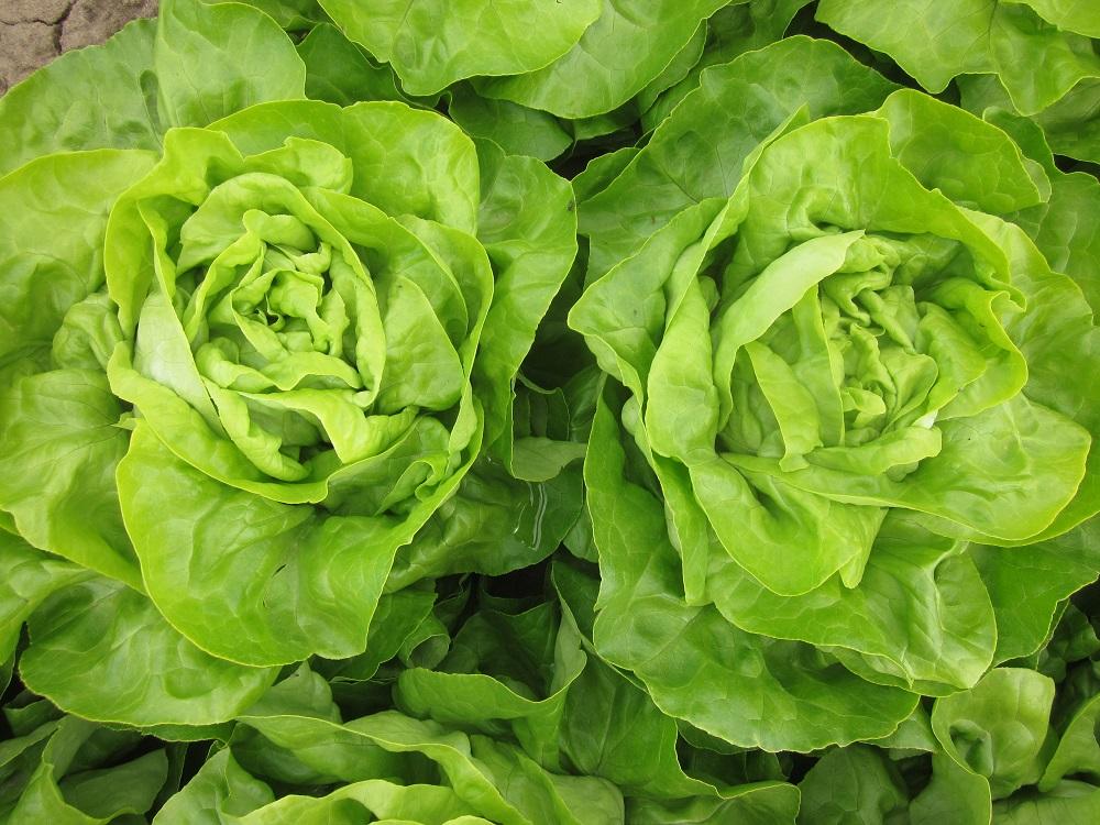 Salat - Garten-CH - Balkongarten