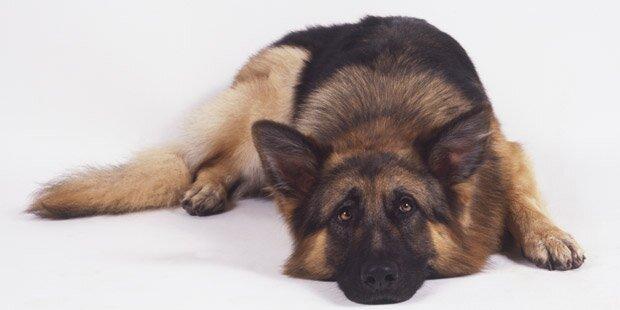 Grausame Tierquäler erschossen Schäferhund