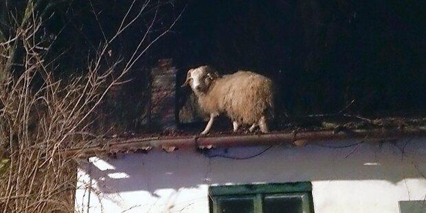 So kam das Schaf aufs Dach
