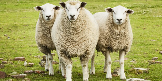 Familie sch chtete schafe im garten zwei tiere tot for Schafe halten im garten