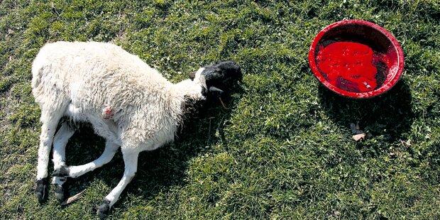 Schafe geschächtet: Muslime angeklagt