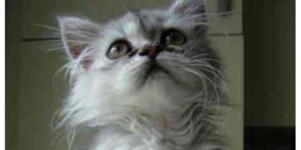 Schila ist Österreichs süßeste Katze