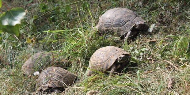 Wiener Tierschutzverein nahm 100 Schildkröten auf